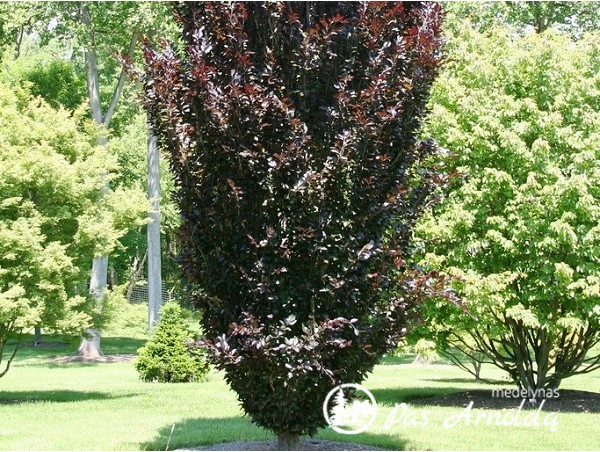 Bukas paprastasis ,Any's Red Pillar' (lot. Fagus sylvatica) -c5