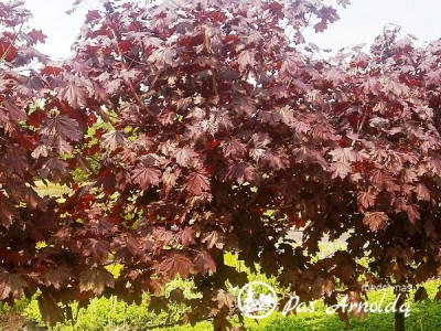 Klevas paprastasis ,Royal Red' (lot. Acer platanoides) -c5