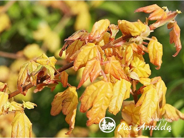 Trakinis klevas ,Magic Spring' (lot. Acer campestre) -c10