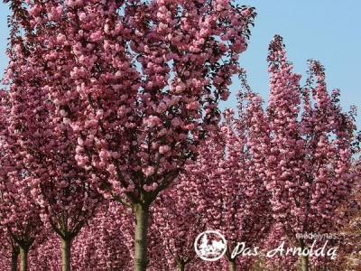 Slyva smailiadantė ,Royal Burgundy'  (lot. Prunus serrulata) -c5