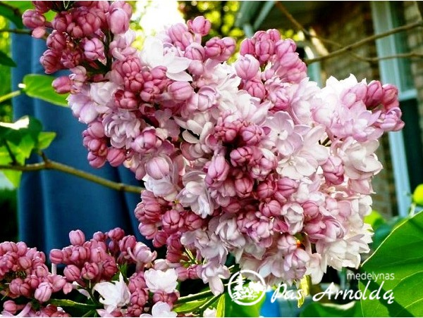 Alyva paprastoji ,Beauty of Moscow' (lot. Syringa vulgaris)