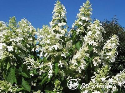 Hortenzija šluotelinė ,Levana' (lot. Hydrangea paniculata)