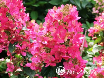 Hortenzija šluotelinė ,Mega Mindy' (lot. Hydrangea paniculata)