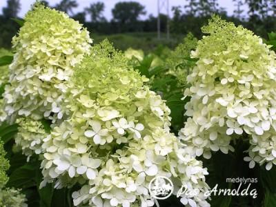 Hortenzija šluotelinė ,Phantom' (lot. Hydrangea paniculata)