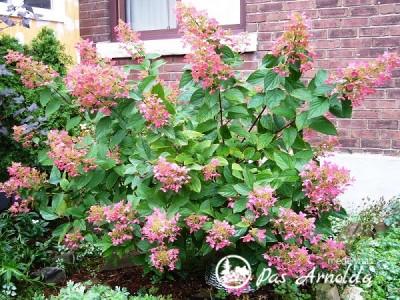 Hortenzija šluotelinė ,Pink Diamond' (lot. Hydrangea paniculata)