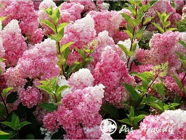 Hortenzija šluotelinė ,Vanille-Freise' (lot. Hydrangea paniculata)