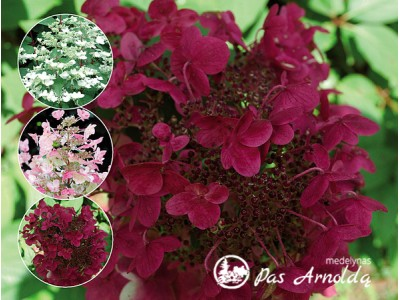Hortenzija šluotelinė ,Wim's Red' (lot. Hydrangea paniculata)
