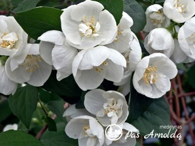 Jazminas ,Virginal' (lot. Philadelphus)