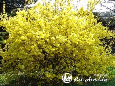Forsitija tarpinė ,Lynwood' (lot. Forsythia x intermedia) -c2