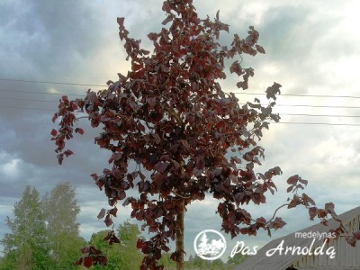 Lazdynas ,Red Majestic' (lot. Corylus) -20
