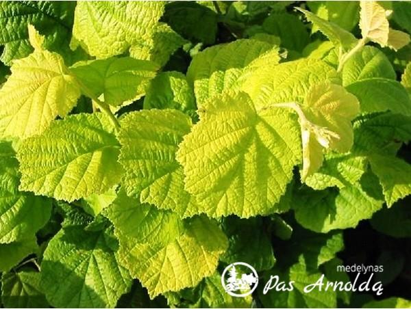 Lazdynas paprastasis ,Aurea' (lot. Corylus avellana)