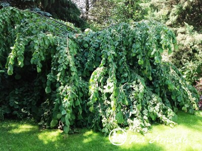 Lazdynas paprastasis ,Pendula' (lot. Corylus avellana)