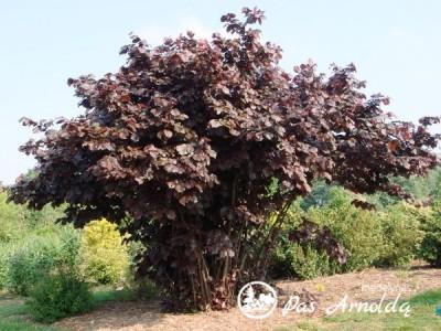 Lazdynas didysis ,Purpurea' (lot. Corylus maxima)