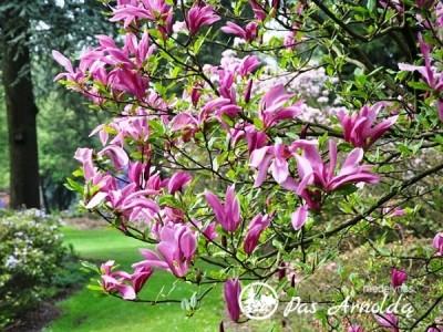 Magnolija ,Susan' (lot. Magnolia)