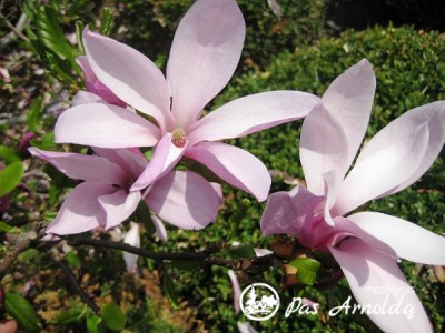 Magnolija ,Betty' (lot. Magnolia)
