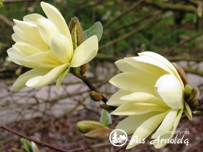 Magnolija ,Gold Star' (lot. Magnolia)