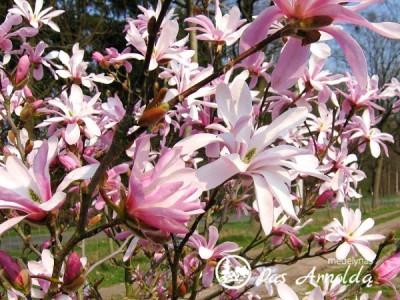 Magnolija Lebnerio ,Leonard Messel' (lot. Magnolia x lobneri)