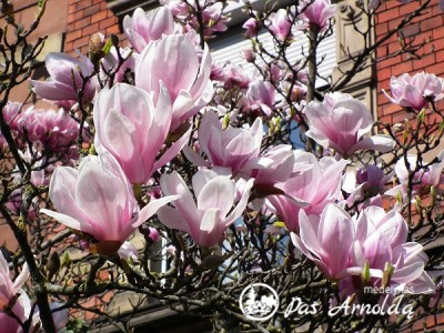 Magnolija Sulanžo (lot. Magnolia x soulangeana)