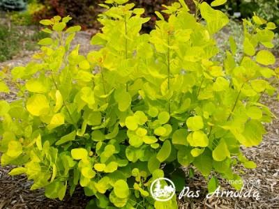 Pukenis europinis Golden Spirit ,Ancot'  (lot. Cotinus coggygria) -c5