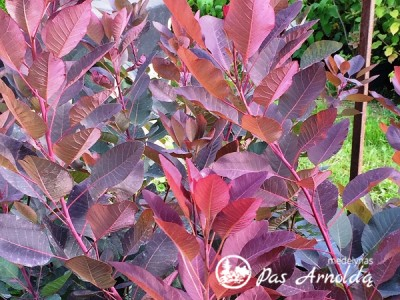 Pukenis ,Grace' (lot. Cotinus)