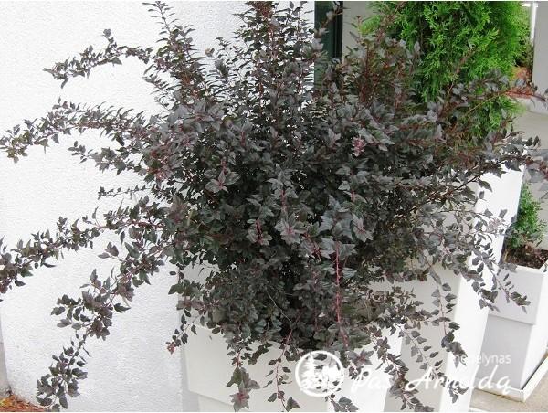Pūslenis putinalapis Little Devil ,Donna May' (lot. Physocarpus opulifolius)