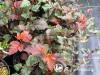 Pūslenis putinalapis ,Zdechovice' (lot. Physocarpus opulifolius)