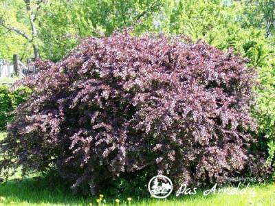Raugerškis tunbergo ,Atropurpurea' (lot. Berberis thunbergii) -c2