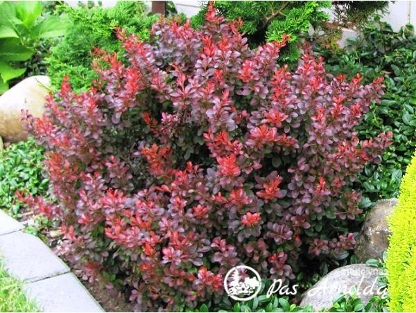 Raugerškis tunbergo ,Atropurpurea Nana' (lot. Berberis thunbergii) -c2