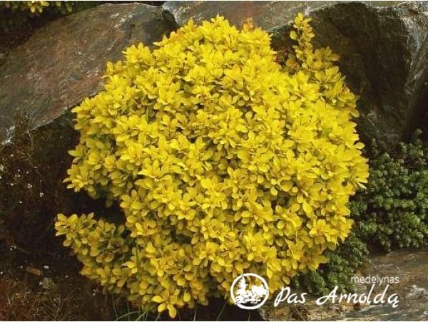 Raugerškis tunbergo ,Goldalita' (lot. Berberis thunbergii) -c2