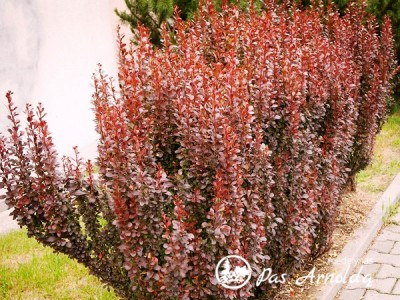 Raugerškis tunbergo ,Red Pillar' (lot. Berberis thunbergii)