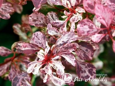 Raugerškis tunbergo ,Rose Glow' (lot. Berberis thunbergii)