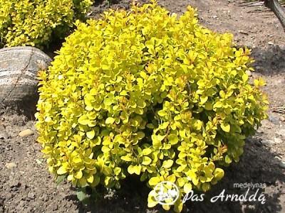 Raugerškis tunbergo ,Bonanza Gold' (Bogozam) (lot. Berberis thunbergii) -c5