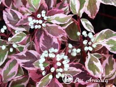Sedula baltoji ,Sibirica Variegata' (lot. Cornus alba)