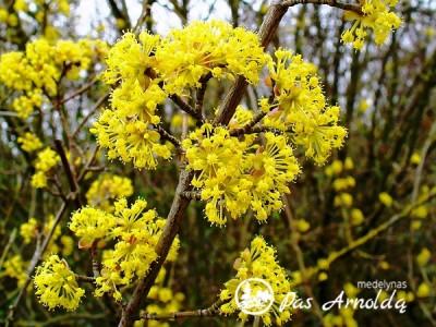 Sedula geltonžiedė (lot. Cornus mas)