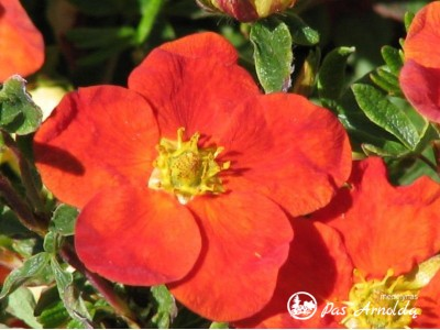 Sidabražolė krūminė 'Red Ace' (lot. Potentilla fruticosa)