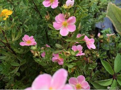 Sidabražolė krūminė LOVELY PINK 'Pink Beauty' (lot. Potentilla fruticosa) -c2