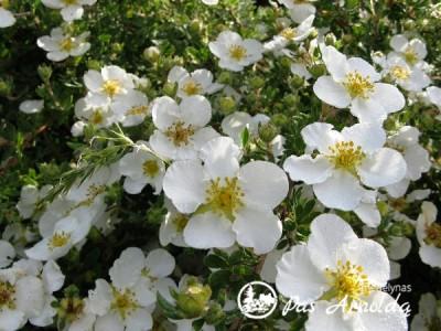 Sidabražolė krūminė 'Abbotswood' (lot. Potentilla fruticosa) -c2