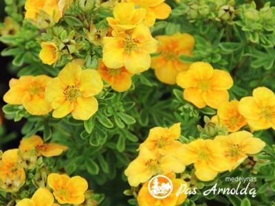 Sidabražolė krūminė Mango Tango ,Uman' (lot. Potentilla fruticosa) -c2