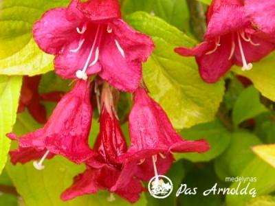 Veigelė gražiažiedė ,Aurea' (lot. Weigela florida) -c2