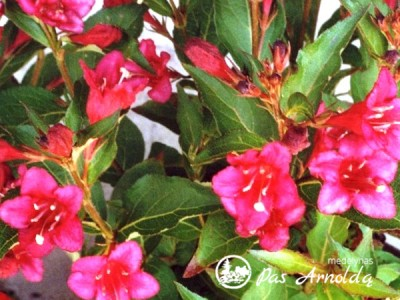 Veigelė Lucifer ,Courtared'  (lot. Weigela) -c2