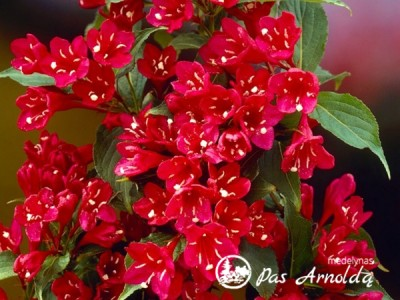 Veigelė ,Red Prince'  (lot. Weigela) -c2