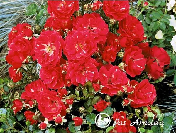 Rožė ,The Fairy' (lot. Rosa) raudona -с2