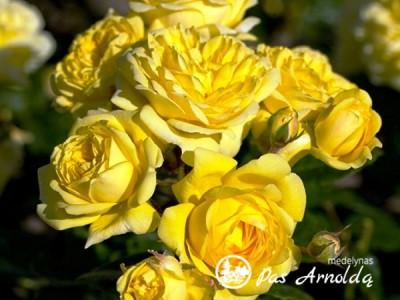 Rožė GOLDEN PENNY 'Rugul'