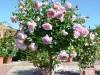 Rožė kamieninė (lot. Rosa) 1,2m