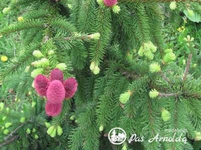 Eglė paprastoji ,Acrocona' (lot. Picea abies) -c5