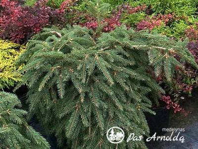 Eglė paprastoji ,Formanek' (lot. Picea abies) -c14