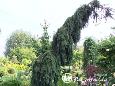 Eglė paprastoji ,Inversa' (lot. Picea abies) -с7,5