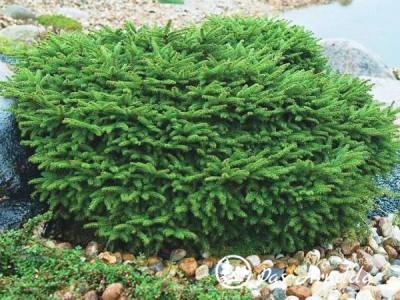 Eglė paprastoji ,Nidiformis' (lot. Picea abies) -c5