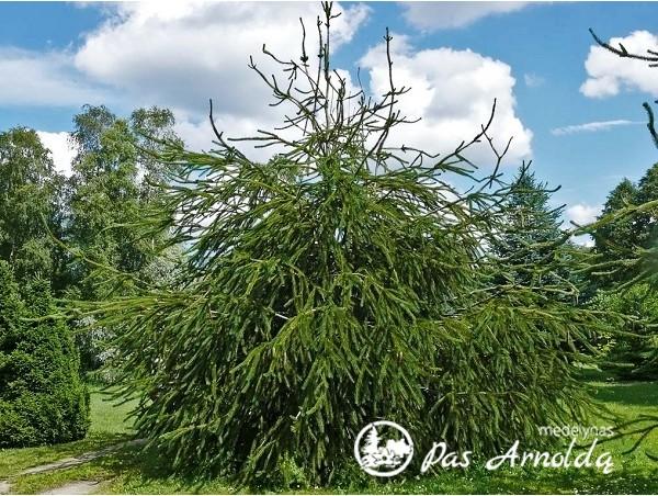 Eglė paprastoji ,Virgata' (lot. Picea abies)