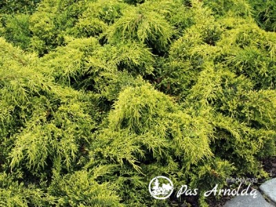 Kadagys tarpinis ,Gold Star' (lot. Juniperus x pfitzeriana)